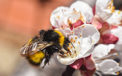 Evaluating the ability of citizen scientists to identify bumblebee species